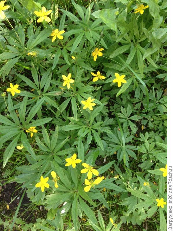 Желтые цветы с красивой резной зеленью. Пониже - см 15.