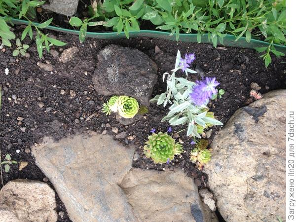 Он был маленький и рос рядом с камнем, на котором росла заячья капустка? (или этот шарик не так называется?). Вот вместе с камнем и принес, а я, так с камнем, и определила их на свою каменную горку...