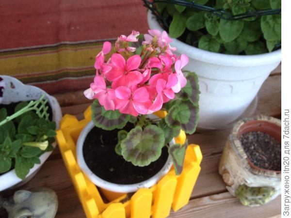 Первый год пеларгонии на даче посадила. Держу в горшках, чтобы можно было домой забрать на зиму.