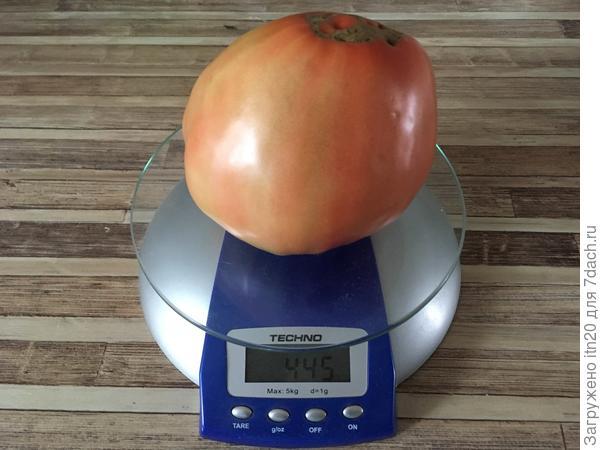 Вот она какая - первая наша большая помидорина!
