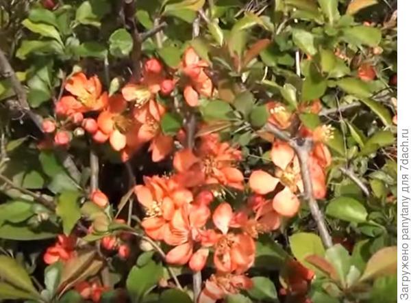 айва роз