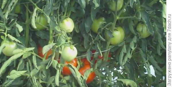 томатные джунгли с первыми томатами