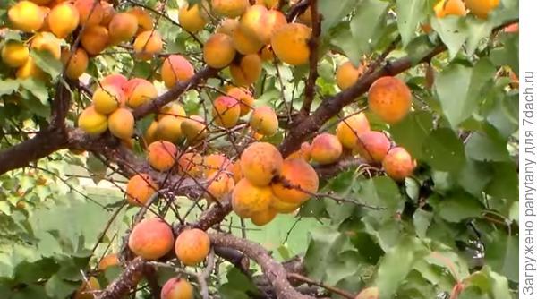 абрикос сорт мышонок