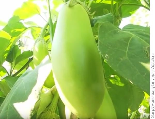 зеленоплодный