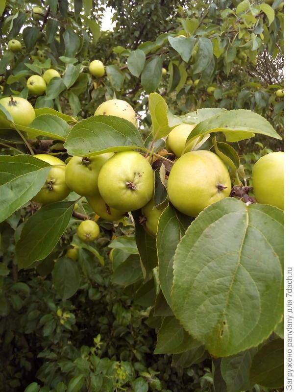 наливаются яблочки