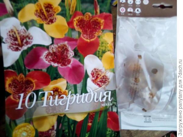 тигридия и пакет с луковицами цветов