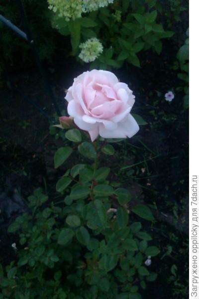 сам цветок