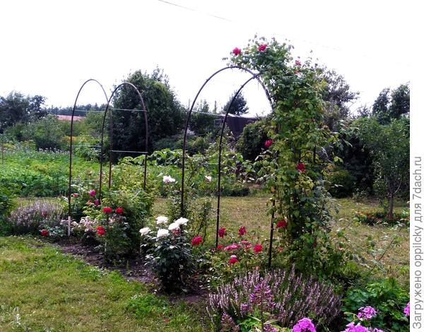 лаванда в розарии