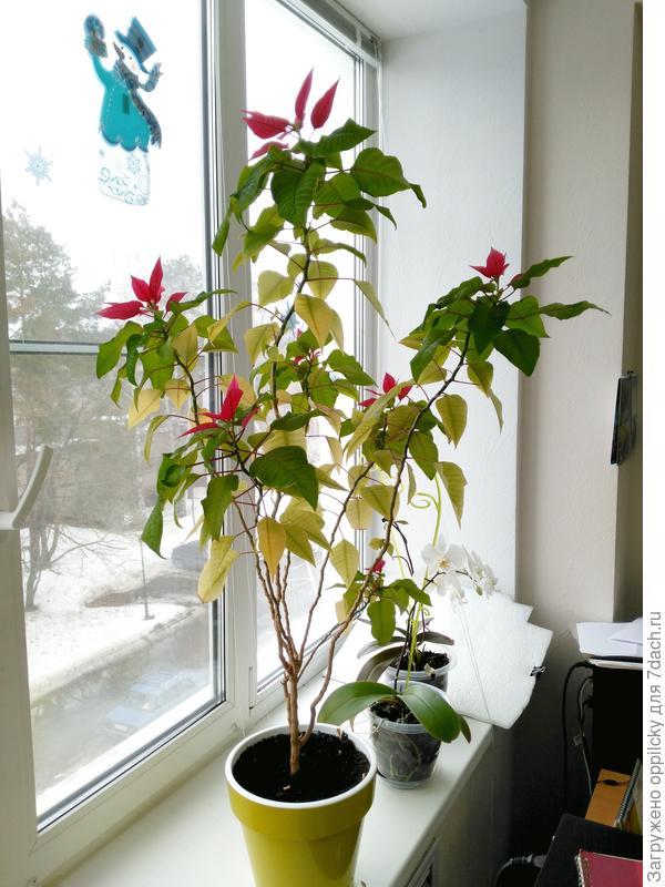 пуансетия цветет