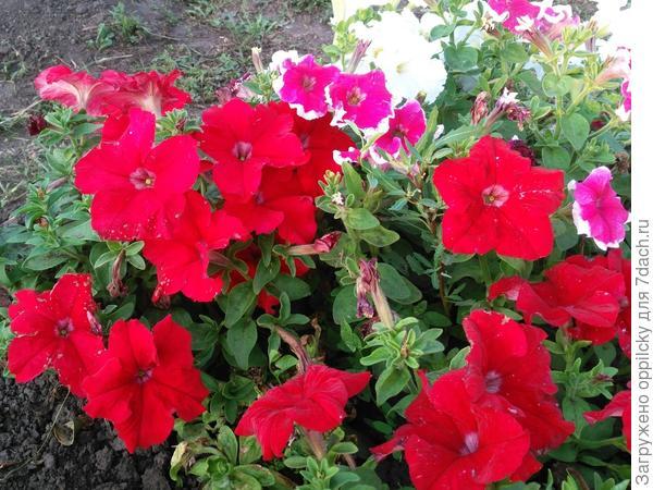 можно сравнить размер цветка Марии и красной комплиментунии