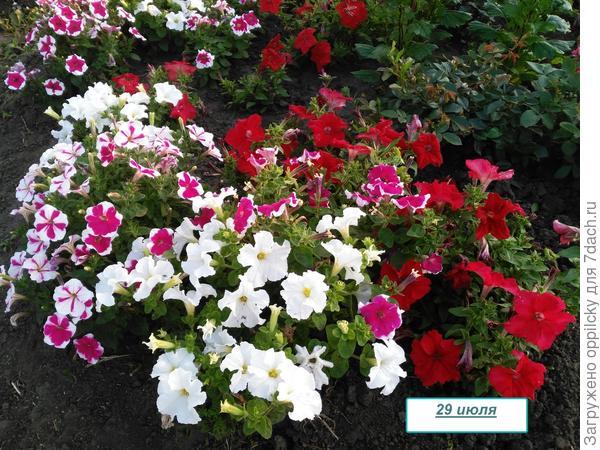 клумба с петуниями и розами