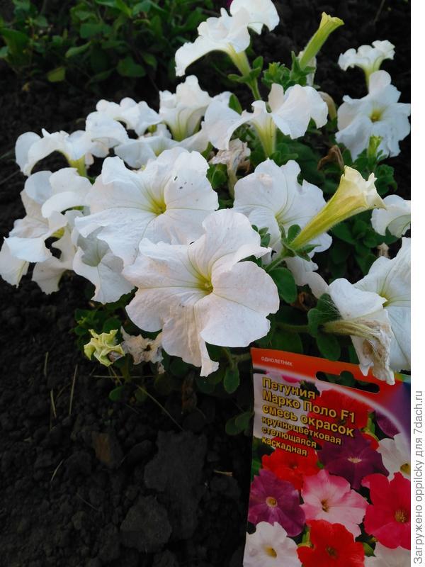 белая расцветка