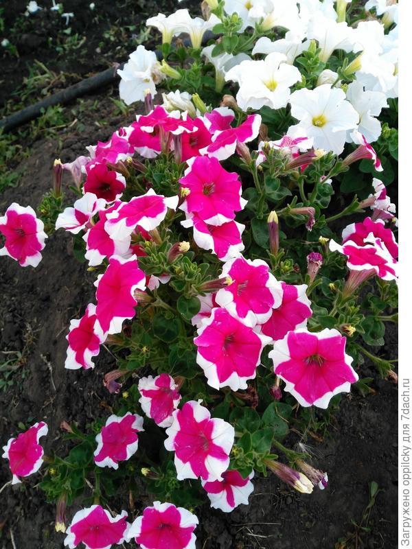 Куст с классической расцветкой