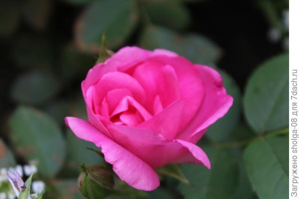 """Роза сорта """"Модерн сентениал"""""""