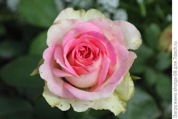 "Роза сорта ""Малибу"""