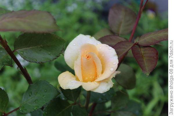 "Роза сорта ""Версилия"""