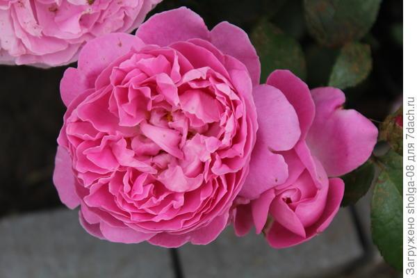 """Роза сорта """"Мэри роуз"""". 5 лет кусты."""