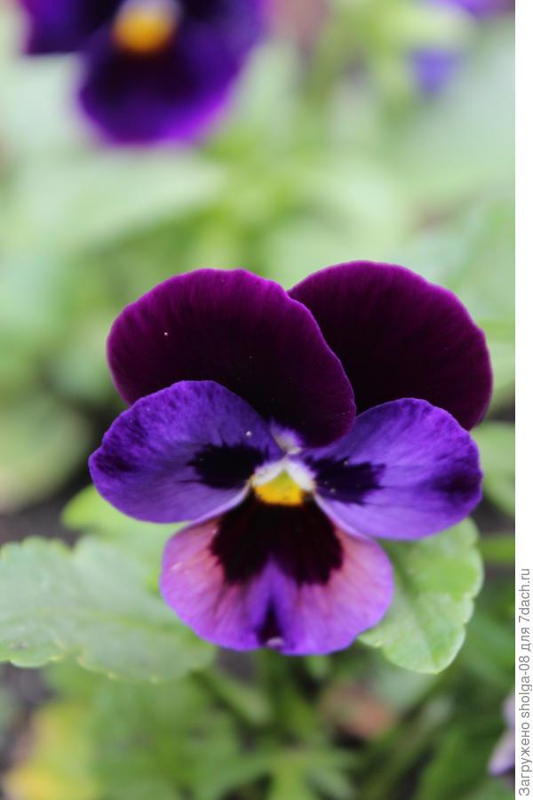 Очень люблю синие и фиолетовые виолы.