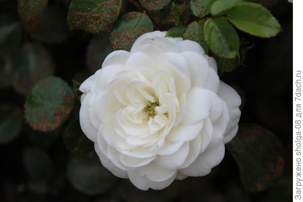 """Роза сорта """"Пикси"""" миниатюрная."""