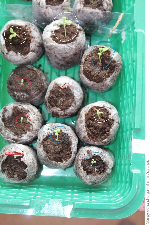 14.03.18. красным с 2 семядольными листочками, голубым с 1 настоящим листом, белым с 2 настоящими листьями