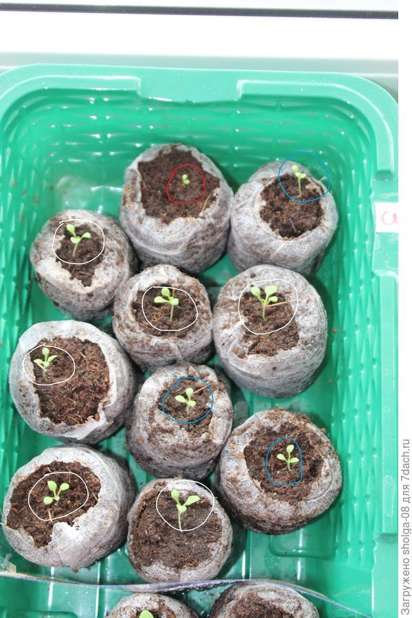 14.03.18. Красным с двумя семядольными, синим 3 с одним настоящим листом, белым 6 ростков с двумя семядольными листочками.