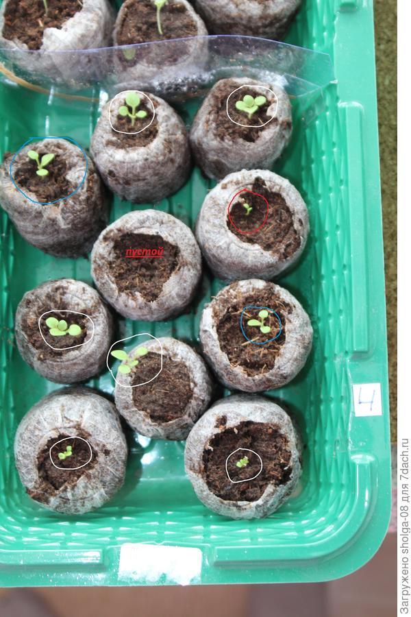 14.03.18. красным - 1 с двумя семядольными, голубым - 2 с одним настоящим листом, белым - 4 с двумя настоящими листьями