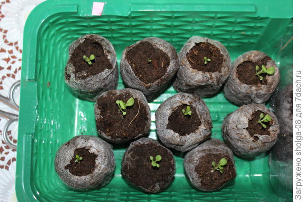 1 растение имеет 2 семядольных листочка. 9 уже имеют настоящие листочки