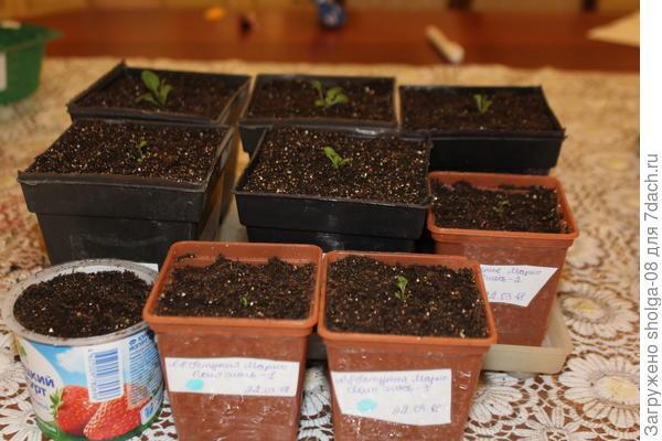 Растения не равномерные. 5 относительно крепких, 3 слабых. И одно практически в реанимации