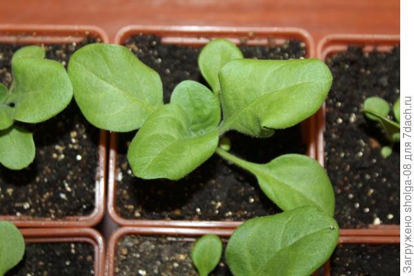 Самое крупное растение