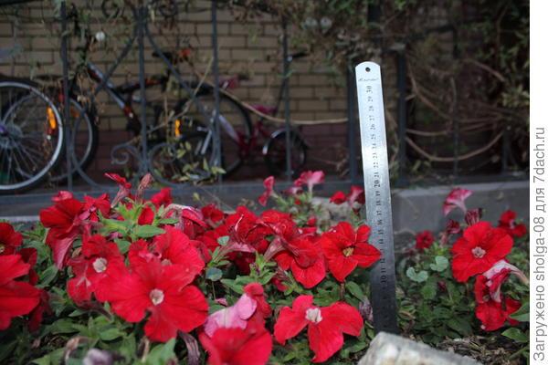 На данный момент высота чуть больше 20 см. Летом кусты были не более 25 см.