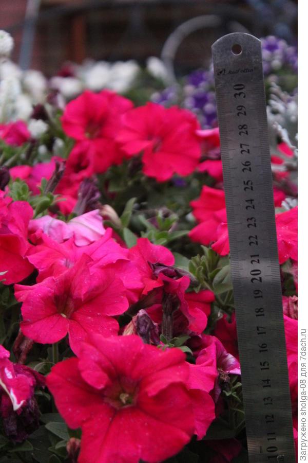 кусты высотой 20-25 см. Высота у кустов одинаковая