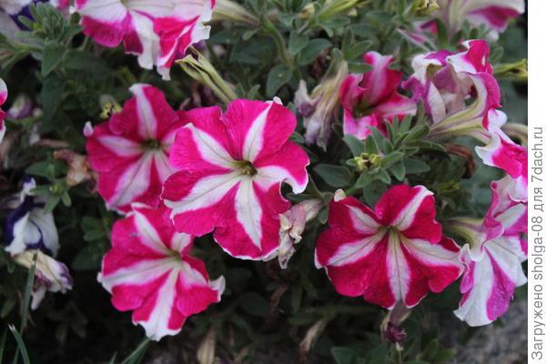 розовая расцветка
