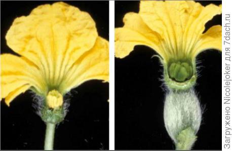 цветы дыни