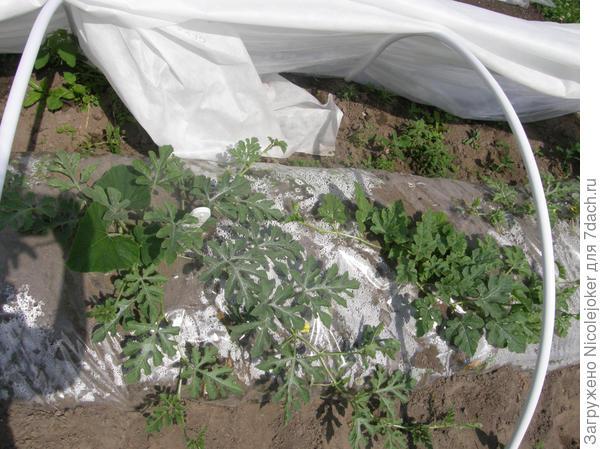 арбузы в ОГ Ленинградской области