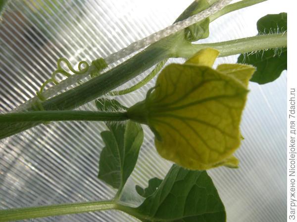 мужской цветок