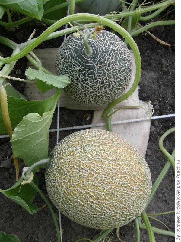 Амброзия - урожай