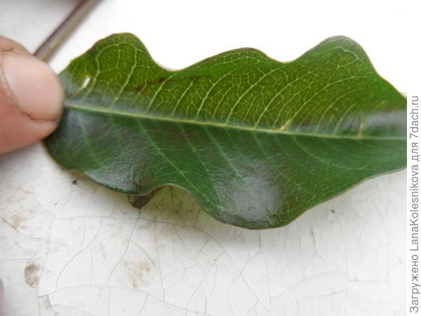 Лист лианы