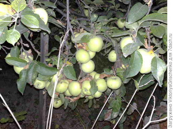 яблоки с нашего огорода