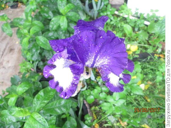 Ирисы после дождя1