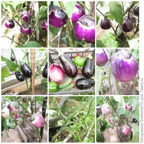 Разные и прекрасные Баклажаны в моем огороде