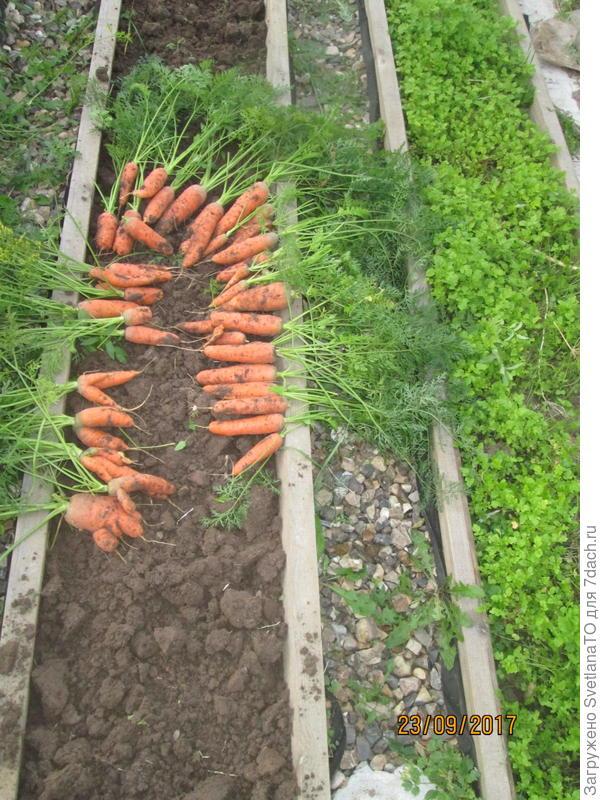 морковь11