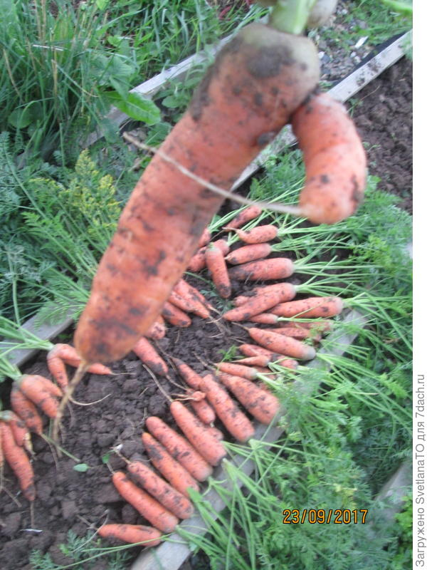 морковт