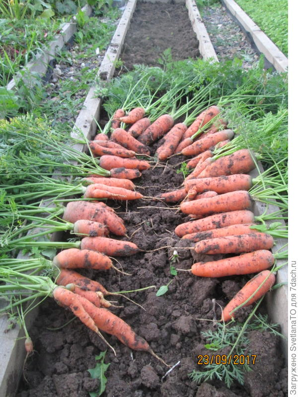 морковь6