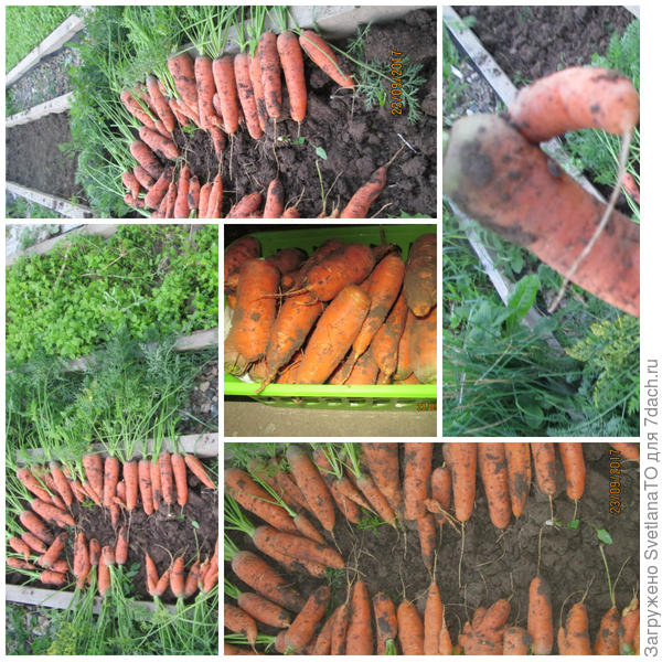 Коллаж - уборка моркови