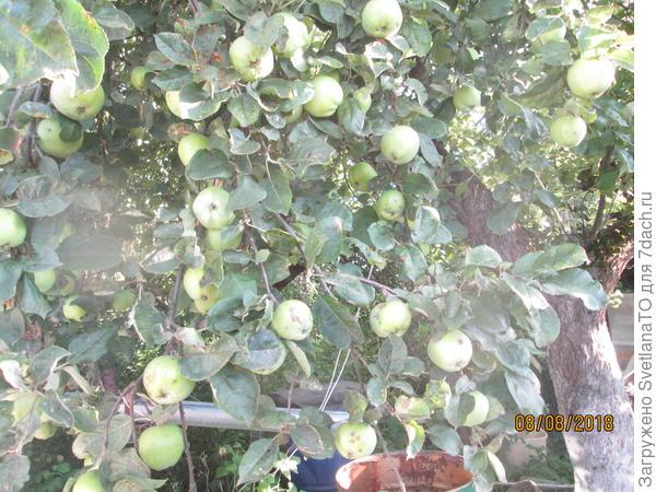 Изобилие яблок, сезон 2018