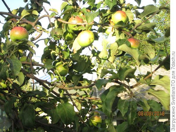 Много яблок не бывает! Или бывает?