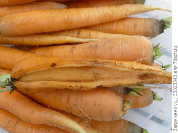 Почему в земле треснула морковка?