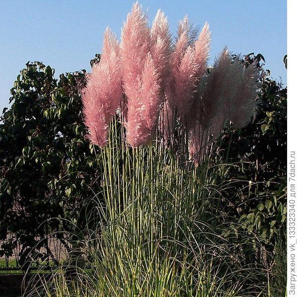 Кортадерия Селло (Пампасная трава), розовая.