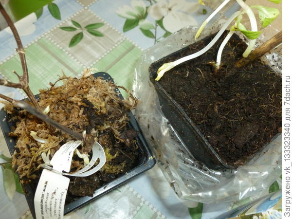 Саженцы гортензий с закрытой корневой системой. В таких ёмкостях растения успешно доживают до высадки в открытый грунт.