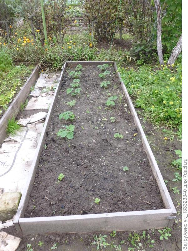 от одного куста садовой земляники получилась целая грядка